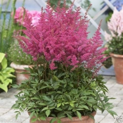 Astilbe Mix ~ 100 Seeds,violet,red,pink,cream and White Seeds