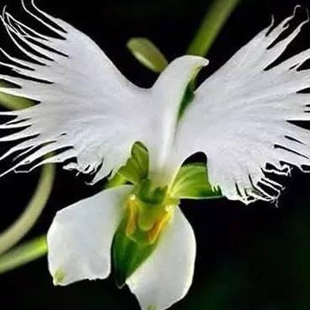 Lovely 100Pcs Egret Flower Seeds