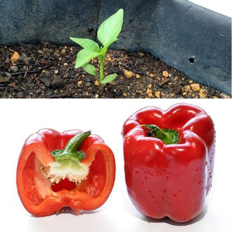 Bell Pepper Sweet Seeds