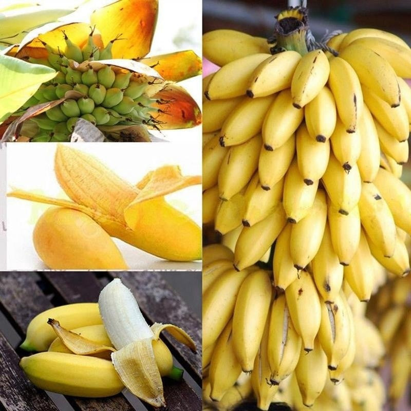 100 Cps Mini Banana Seeds