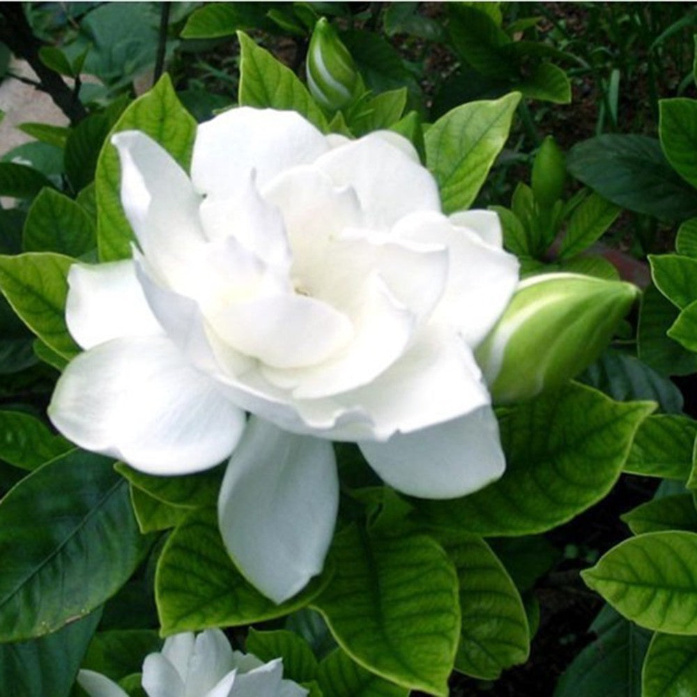 20pcs/Bag Flower Seed Arabian Jasmine /Gardenia Flower Seeds