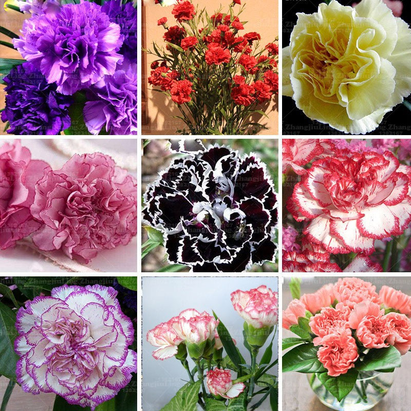 20pcs  Carnation Seeds Perennial flowers Potted Garden Plants Dianthus Caryophyllus Flower Seed