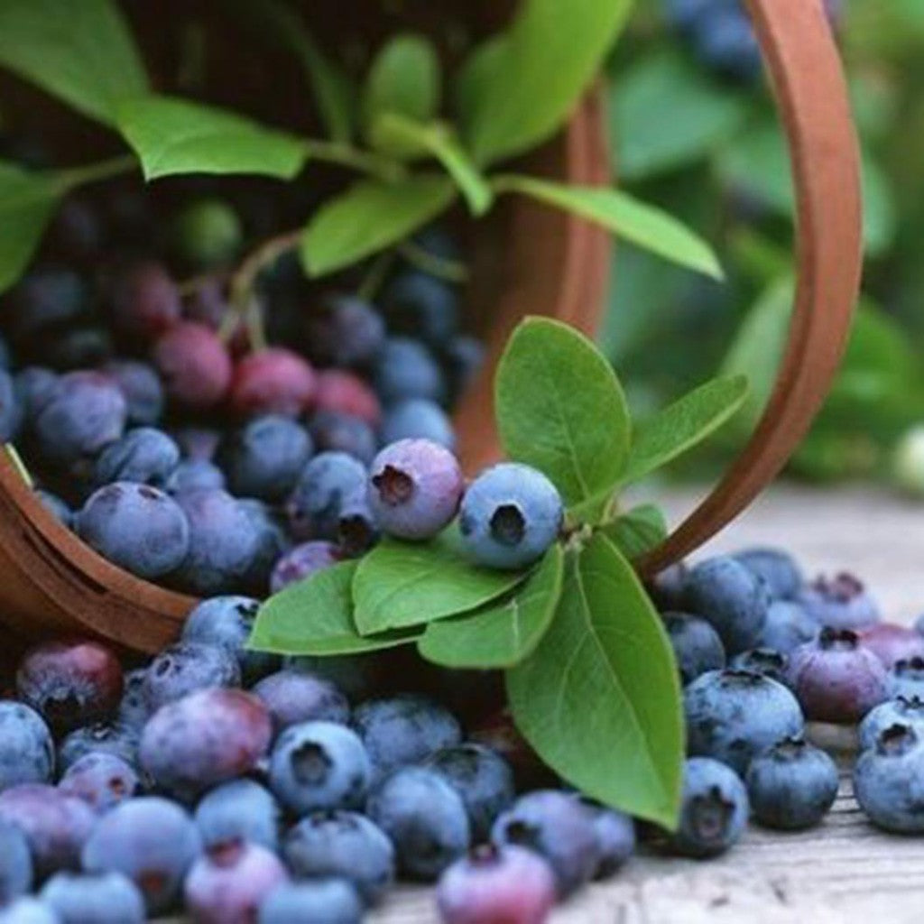 30Pcs Blueberry Seedlings