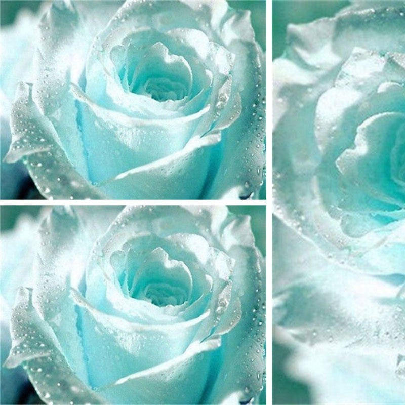 55Pcs Rose Seed Osiris Light Blue Rose