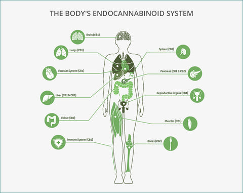 Endocannabinoid receptors around the body