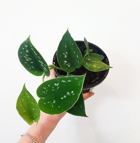 Satin Pothos 120mm