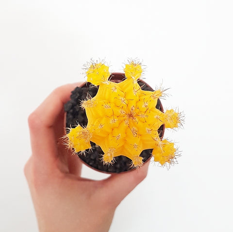 Grafted Mini Cactus - Yellow