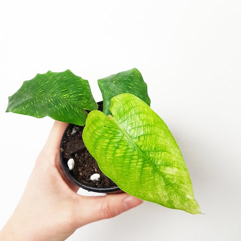 Calathea Musaica - 90 mm Pot #1