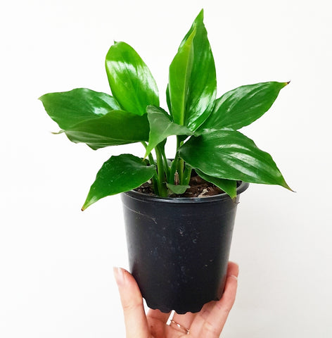 Little Peace Lilly 100mm pot