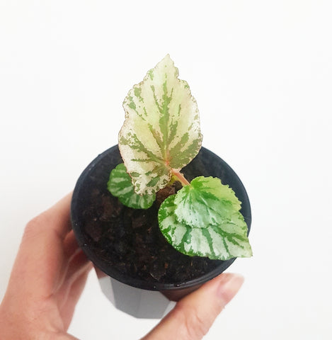 Begonia Looking Glass - 70 mm Pot #1