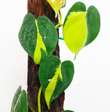 Philodendron Brasil - Large Climber *Pick Up Only*