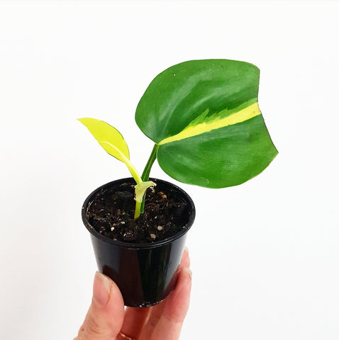 Philodendron Brasil - 55 mm Pot A