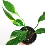 Variegated Peace Lilly - Spathiphyllum Domino 120mm Pot #3