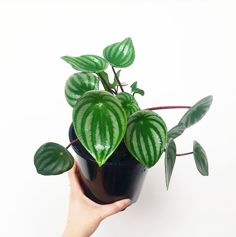 Watermelon Peperomia - Argyreia 170mm