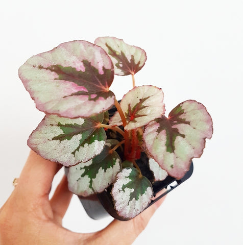 "Baby Begonia - ""Indian Summer"" - 75mm Pot #1"