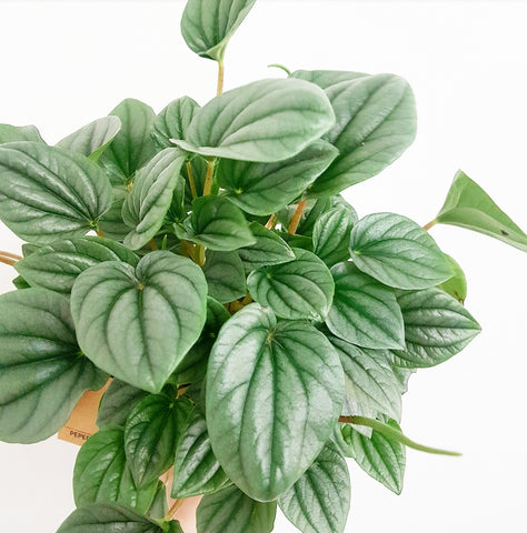 "Peperomia ""Moonlight"" 120mm"