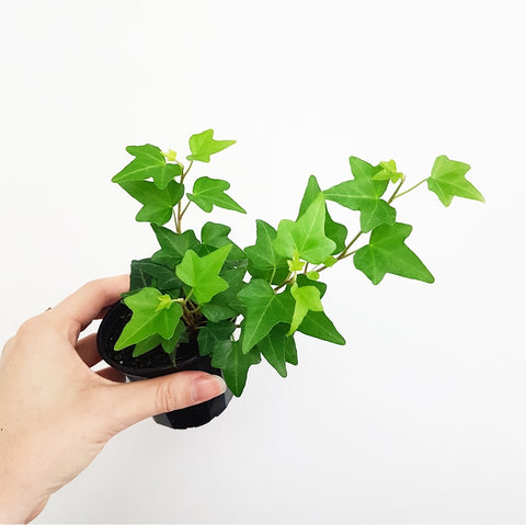 English Ivy - 75mm Pot #2