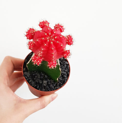 Grafted Mini Cactus Red