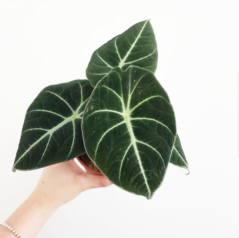 Alocasia Black Velvet - 120mm Pot