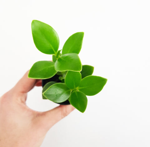 Mini Peperomia - 60mm Pot (B)
