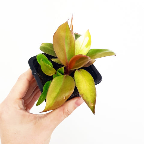 Prince of Orange Philodendron - 75mm Pot (C)
