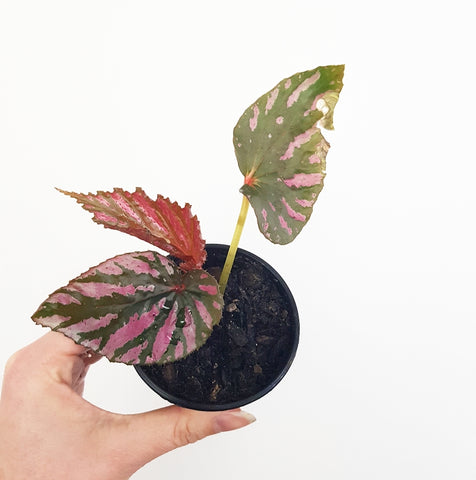 Begonia Exotica - 70 mm Pot (A)