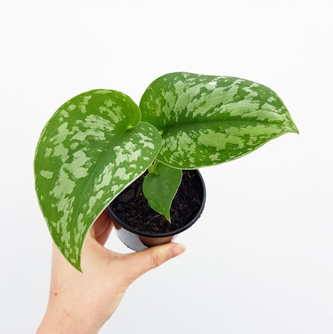 Satin Pothos - 80mm Pot #1