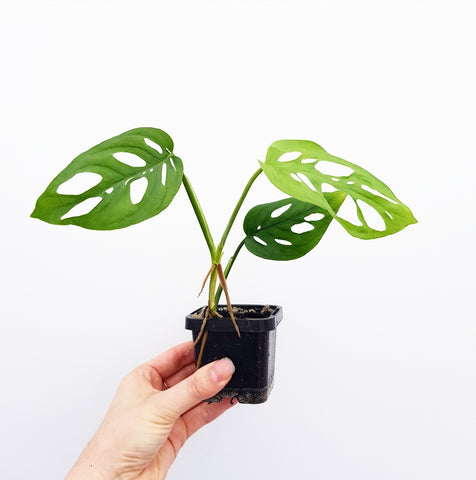 Monstera Adansonii - 70 mm Pot (F)