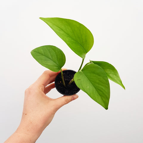 Jade Pothos - 55 mm Pot (B)