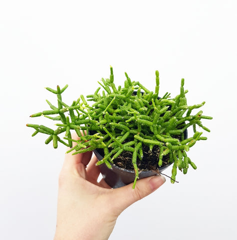 Rhipsalis Green - 90mm Pot #1
