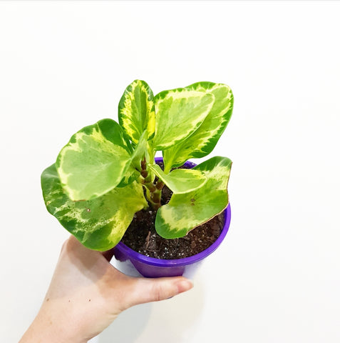 Variegated Peperomia  - 100mm Pot #1
