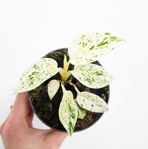 Marble Queen Pothos - 95mm Pot *multiple available*