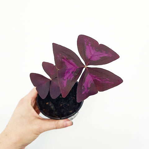 Oxalis Triangularis - Variegated (2-3 leaves in 90mm pot) - *Click & Collect or via email request**