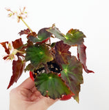 Begonia Rex Variety #3 - 70mm *Multiple Available*