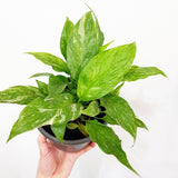 Spathiphyllum Domino (Madonna Lily) - 140mm Pot