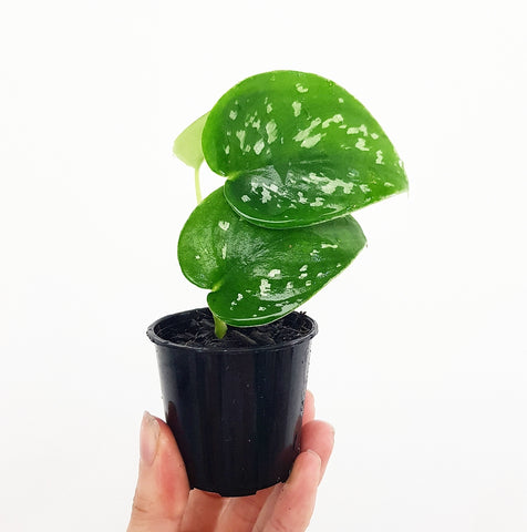 Satin Pothos - 55 mm Pot #1