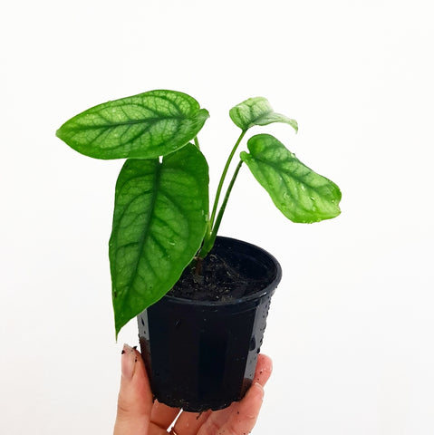 Monstera Siltepecana - 70 mm Pot #4