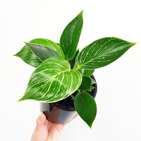 Philodendron Birkin 120mm