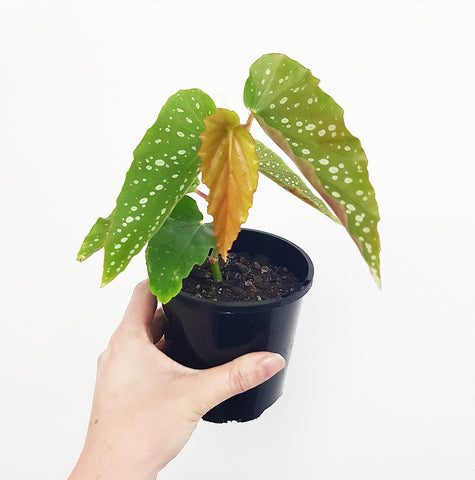 Green Angel Wing Begonia - 100 mm Pot #1