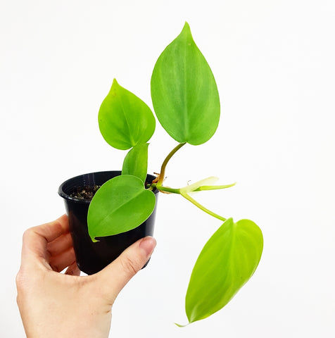 Heart Leaf Philodendron - 80 mm Pot #3