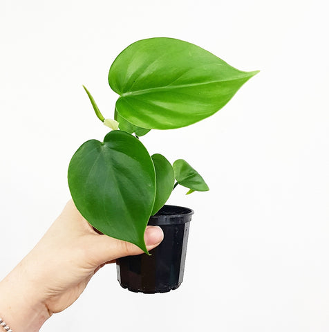 Heart Leaf Philodendron - 70 mm Pot #4