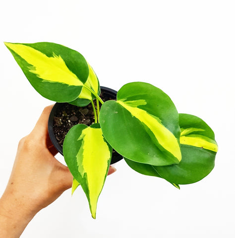 Philodendron Brasil - 100mm Pot