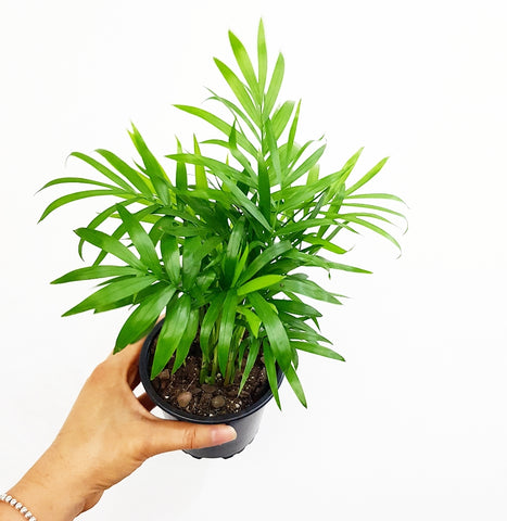 Parlour Palm - 100mm Pot