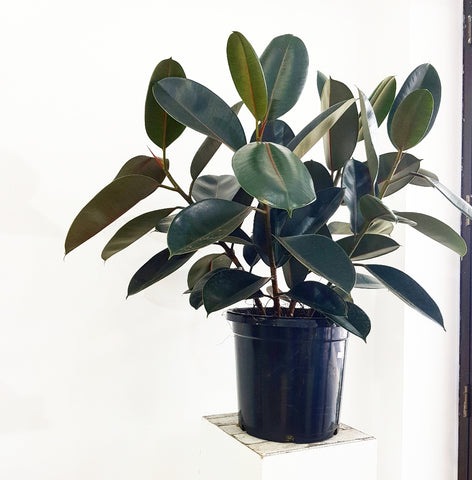 Ficus Elastica Burgundy - 300mm *Click & Collect Only*