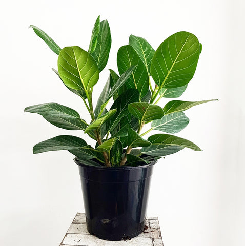 Ficus Audrey - 250mm *Click & Collect Only*