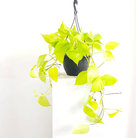 Goldilocks Pothos - 200mm Hanging Basket *Click & Collect Only*