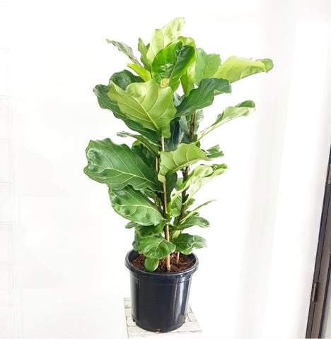 Ficus lyrata - Fiddle leaf Fig - 300mm *Click & Collect Only*