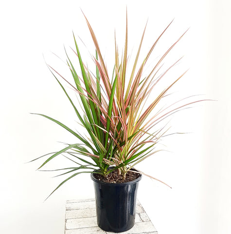 Dracaena Marginata - 170mm *Click & Collect Only