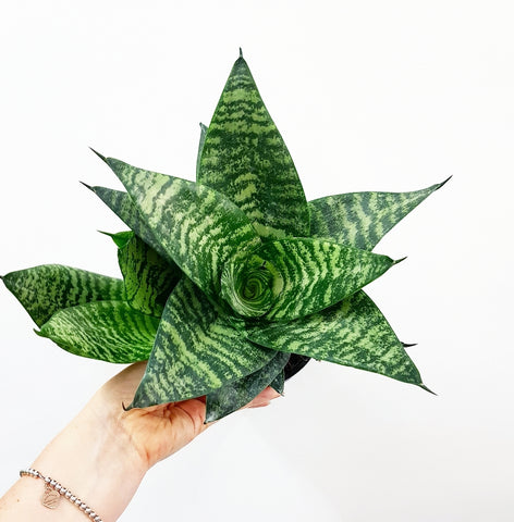 Sansevieria Hahnii 140mm - *Click & Collect Only*