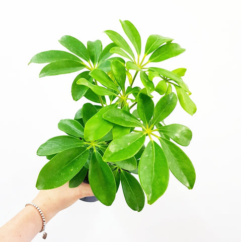 Dwarf Umbrella Tree - 120mm